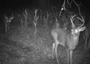 Evening image of nice buck in corn field