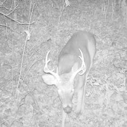 Nighttime image of decent whitetail deer